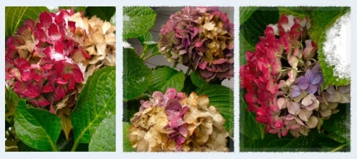 Pacific Northwest Hydrangeas